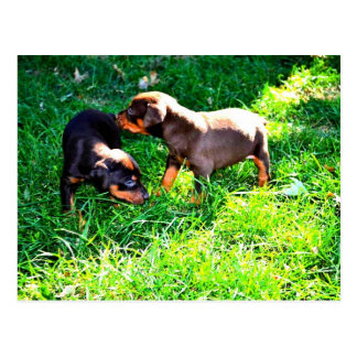 Doby Puppies Postcard