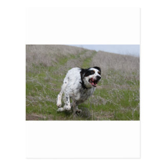 Doc, English Setter Postcard