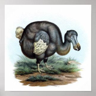 Dodo (Raphus cucullatus) Poster