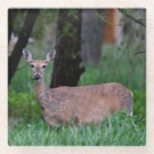 Doe Deer Munching on Grass in Wyoming Glass Coaster