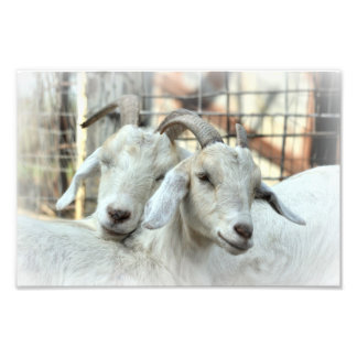 Doe goat and daughter photo print