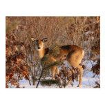 Doe - Michigan Wildlife Postcard