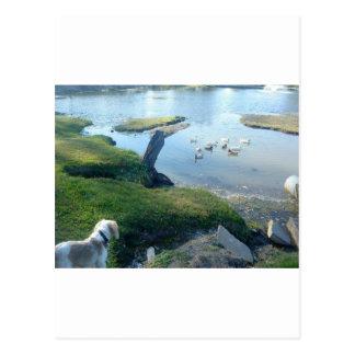 Dog and Ducks Postcard