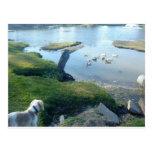 Dog and Ducks Postcards