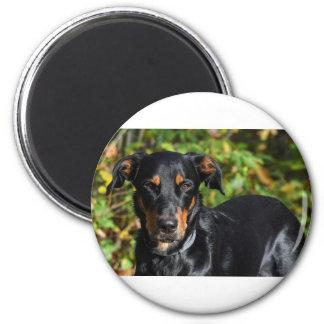 Dog Beauceron Magnet