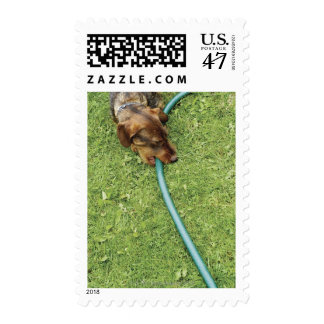 Dog biting on hose on grass and Dandelion leaves Postage