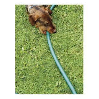 Dog biting on hose on grass and Dandelion leaves Postcard