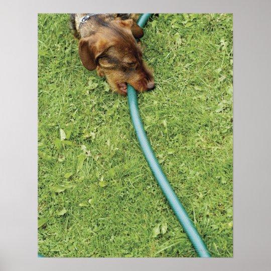 Dog biting on hose on grass and Dandelion leaves Poster