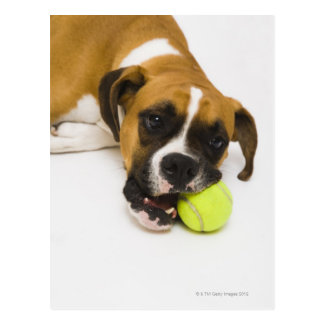 Dog biting tennis ball postcard