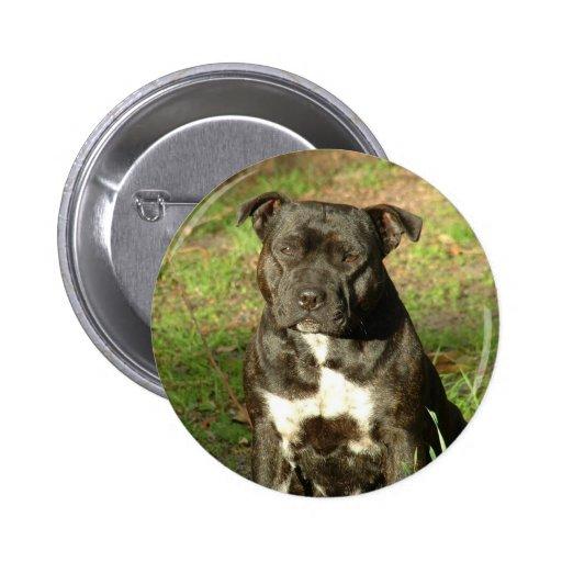 Dog breeds Staffy Button