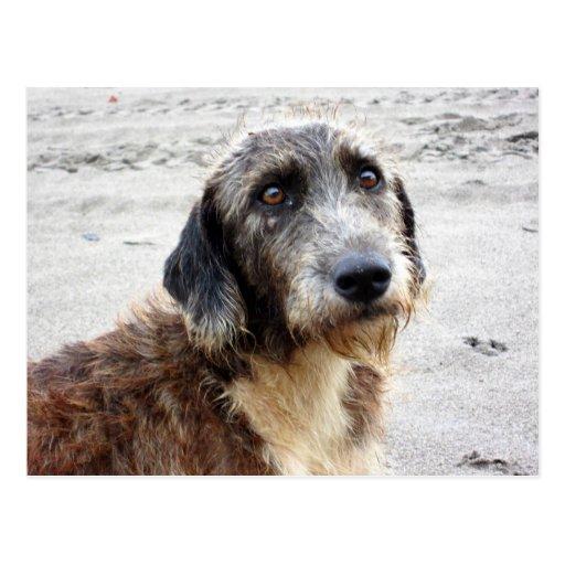 Dog -  Buddy - at the beach Postcard