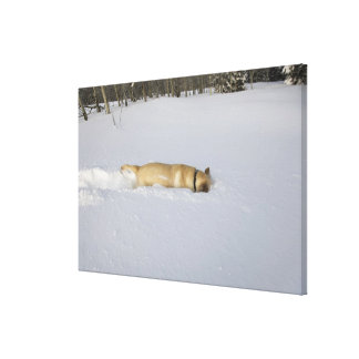 Dog burrowing in snow canvas print