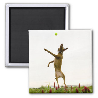 Dog catching tennis ball in mid-air 2 inch square magnet