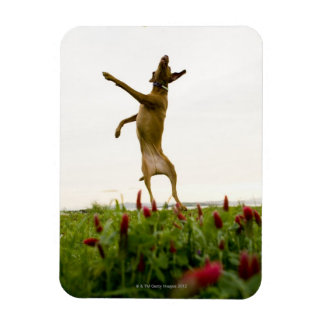 Dog catching tennis ball in mid-air rectangular photo magnet