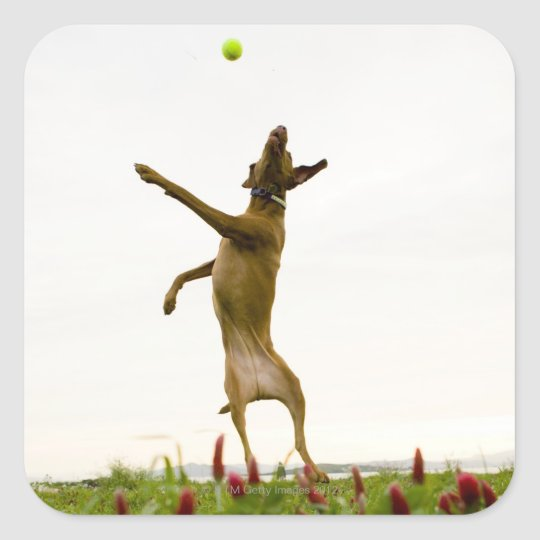 Dog catching tennis ball in mid-air square sticker