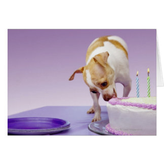 Dog (chihuahua) eating birthday cake on table card
