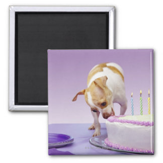 Dog (chihuahua) eating birthday cake on table magnet