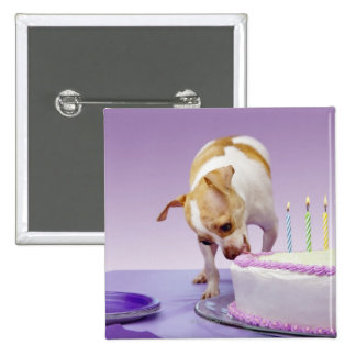 Dog (chihuahua) eating birthday cake on table pinback button