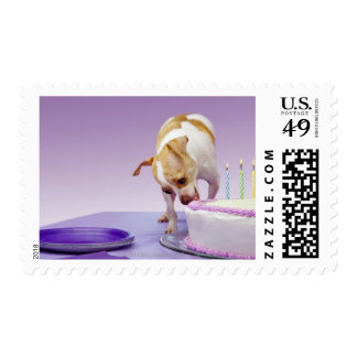 Dog (chihuahua) eating birthday cake on table postage