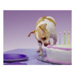 Dog (chihuahua) eating birthday cake on table posters
