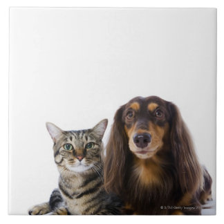 Dog (Dachshund) and cat (Japanese cat) on white Large Square Tile