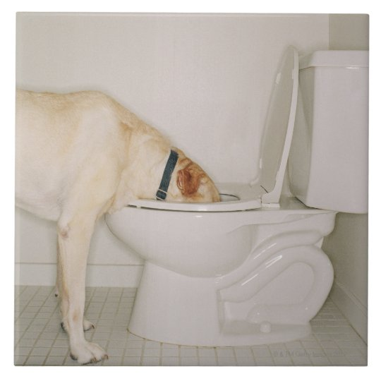 Dog drinking out of toilet ceramic tile