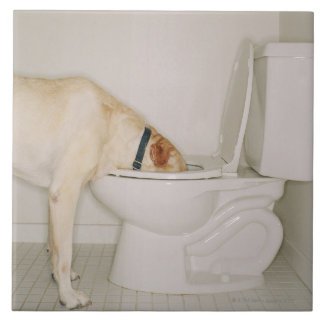 Dog drinking out of toilet large square tile