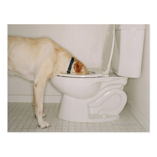 Dog Drinking out of Toilet Post Cards