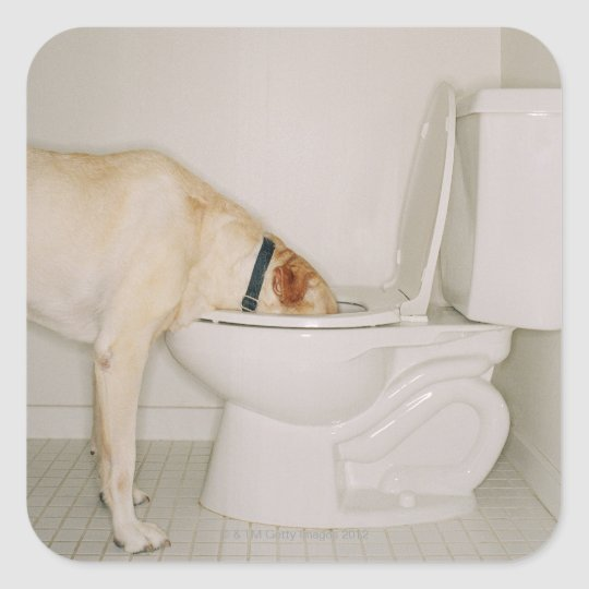 Dog drinking out of toilet square sticker