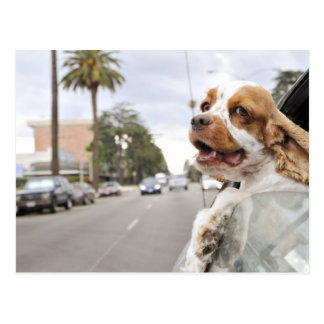 Dog hanging head out of car window postcard