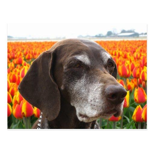 dog in a tulip field post card