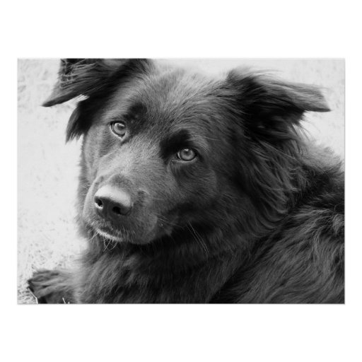 Dog in black and white poster