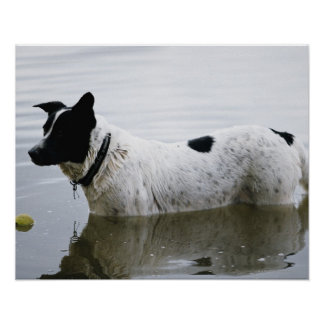 Dog in Water with Tennis Ball Poster
