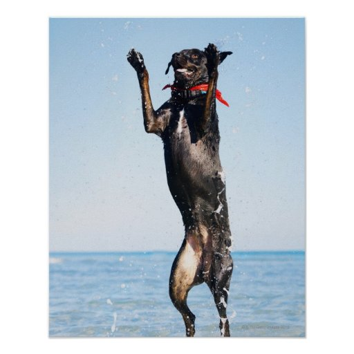 Dog jumping in water poster