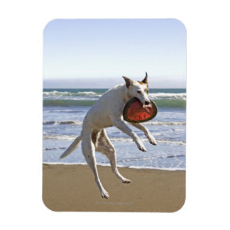 Dog jumping to catch a frisbee on beach magnet