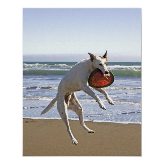 Dog jumping to catch a frisbee on beach poster