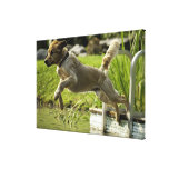 Dog jumps into pond gallery wrap canvas