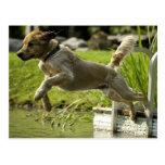 Dog jumps into pond postcards