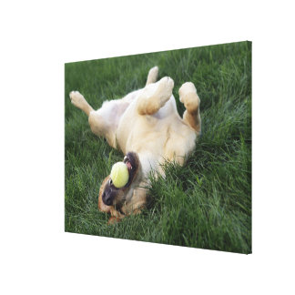 Dog laying upside down in grass with tennis ball canvas print