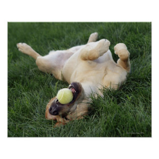 Dog laying upside down in grass with tennis ball poster