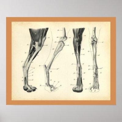 Dog Leg Bones Muscle Veterinary Anatomy Print Zazzle