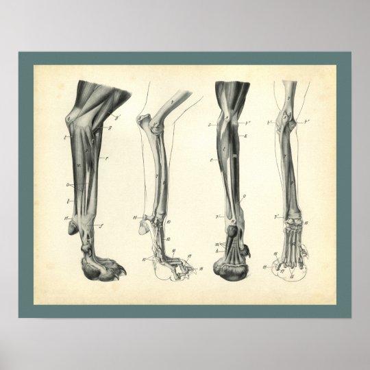 Dog Leg Bones Muscles Veterinary Anatomy Print Zazzle