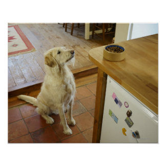 Dog looking at food on table. poster