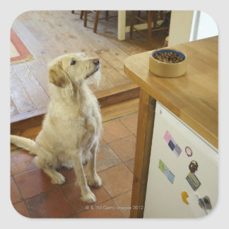 Dog looking at food on table. square sticker