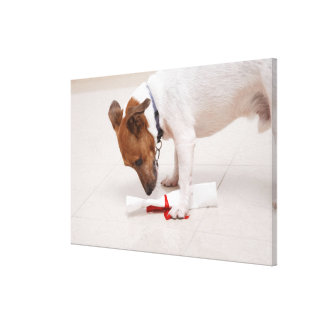 Dog looking down a diploma stretched canvas print