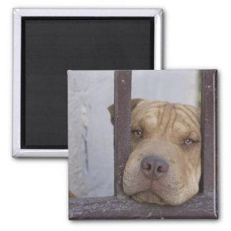 Dog looking through a gate, Valparaiso, Magnet