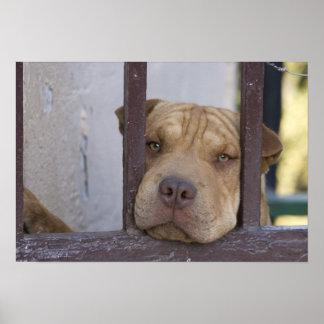 Dog looking through a gate, Valparaiso, Poster