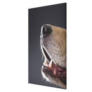 Dog nose and mouth, close-up stretched canvas print