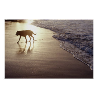 Dog on the beach at sunset poster