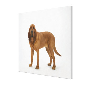 Dog on White 97 Canvas Print